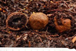 Elaphomyces_granulatus