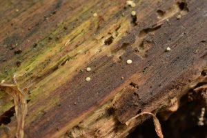 Sphaerocreas_pubescens