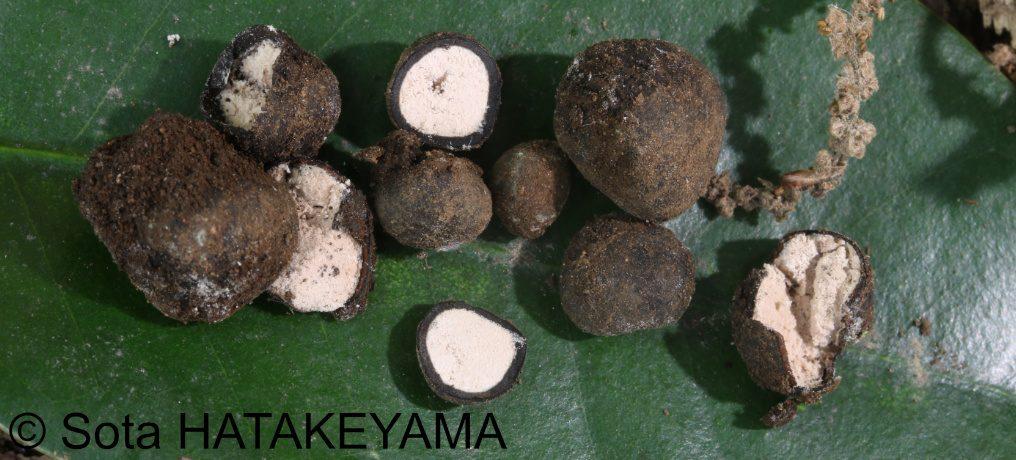 アサヒヒメクロツチダンゴ <em>Elaphomyces asahimontanus</em>