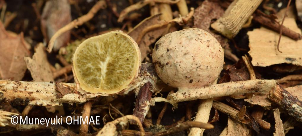 シンジュタケ <em>Boninogaster phalloides</em>